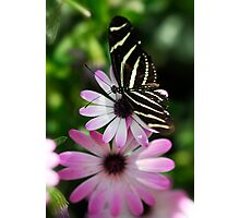 Zebra Longwing on a Daisy  Photographic Print
