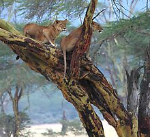 Young Lions in a Tree  by Carole-Anne