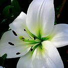 White Lillum by Maureen Clark