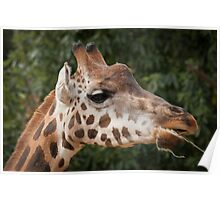 Giraffe at Melbourne Zoo Poster