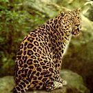 Leopard by hampshirelady