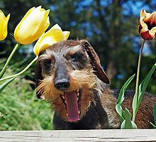Stress amongst the Tulips - Happy Easter !  by Bine