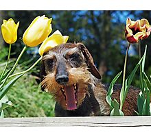 Stress amongst the Tulips - Happy Easter !  Photographic Print