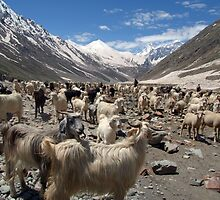 Sheep and Goats in Lahaul Valley by SerenaB