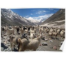 Sheep and Goats in Lahaul Valley Poster