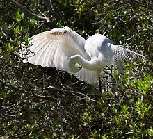 Great Egret by Kathy Weaver