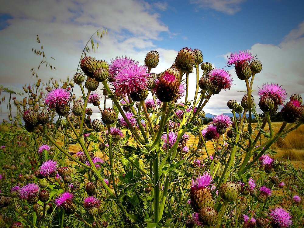 The Beauty Of Wild Thistles by Charles & Patricia   Harkins ~ Picture Oregon