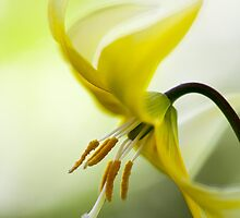 Yellow Clintonia by Tim Devine