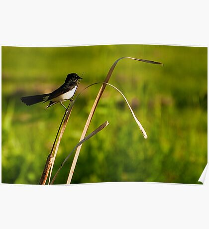 Willie Wagtail (Rhipidura leucophrys) Poster