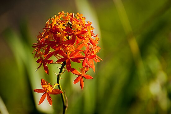 Crucifix Orchid (Epidendrum ibaguense) by Jaxybelle