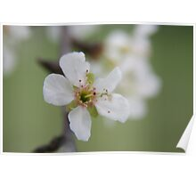 Cherry Blossom time..... Poster