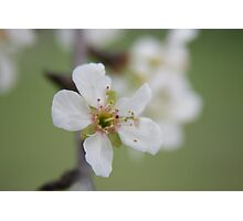 Cherry Blossom time..... Photographic Print