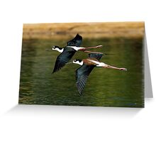 Black Necked Stilts Greeting Card