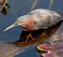 STOCK ~ Green Heron #2 by Rick & Deb Larson