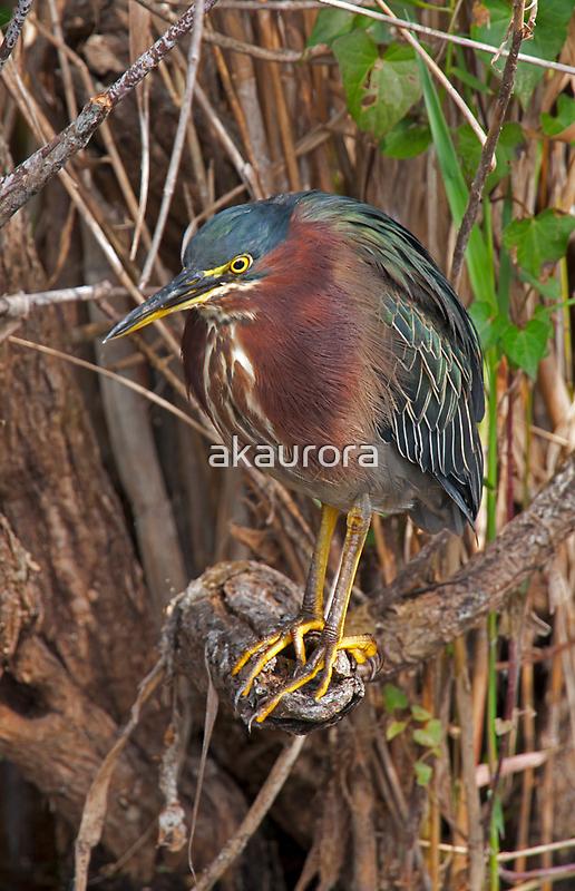 STOCK ~ Green Heron #3 by akaurora