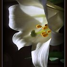 White Lily by kkphoto1