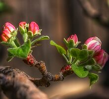 Early Spring Apple Blossom by Merja Waters