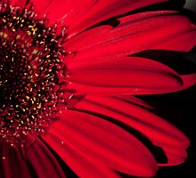 Red Gerbera by Laura Melis