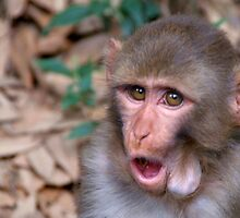 Young Rhesus Macaque with Food in Cheeks by SerenaB