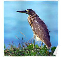 Pond Heron on Grass Varkala Poster