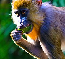 Mandrill by joshquag