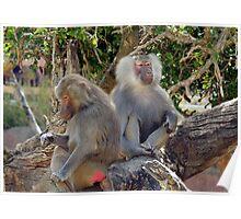 Hamadrayas Baboons Poster