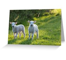 Lambs In Evening Light Greeting Card