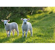 Lambs In Evening Light Photographic Print