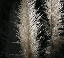 Sunlit Pampas Grass by Tony Brown