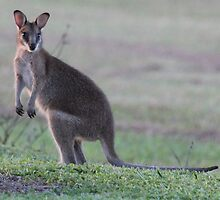 young Wallaby by Maree Costello