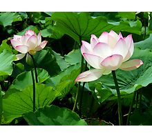 Lotuses Photographic Print