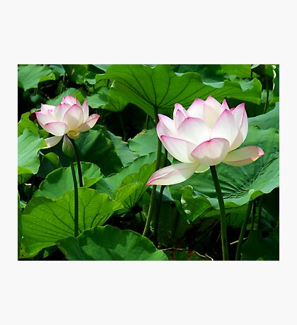 Lotuses Photographic Print