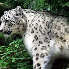 Snow Leopard by Paul Todd