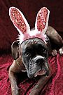 Boxer With *Wabbit* Ears by Evita