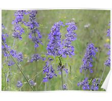 Blue Sage or Blue Salvia? Poster