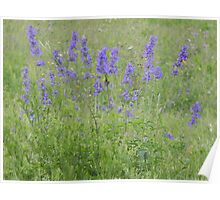 Blue Sage or Blue Salvia Poster