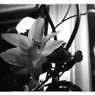 Christmas Cactus Blooming by Tracey Gurney