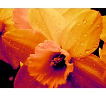 Rain on Daffodils Photographic Print