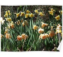 Garden of Daffodils Poster