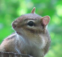 Cheeky Chipmunk by Darcy Overland