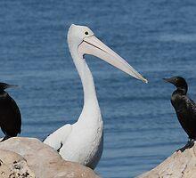 Australian Pelican & Cormorants by Tony Brown
