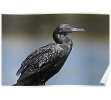 Little Black Cormorant Poster