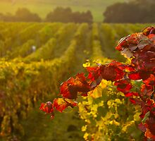 Golden light over Vineyard  by ScottH