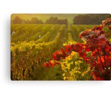 Golden light over Vineyard  Canvas Print