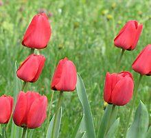 Tulips 2012 by branko stanic