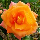 Multi Coloured Rose by julieapearce