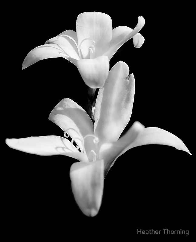 """""""White On Black"""" by Heather Thorning"""