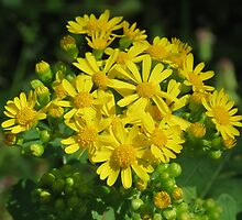 Beautiful Butterweed Bouquet by Ron Russell