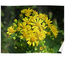 Beautiful Butterweed Bouquet Poster