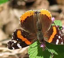 Red admiral by Ron Russell